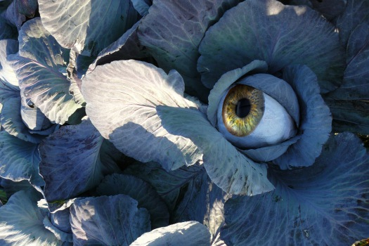 red cabbage eye